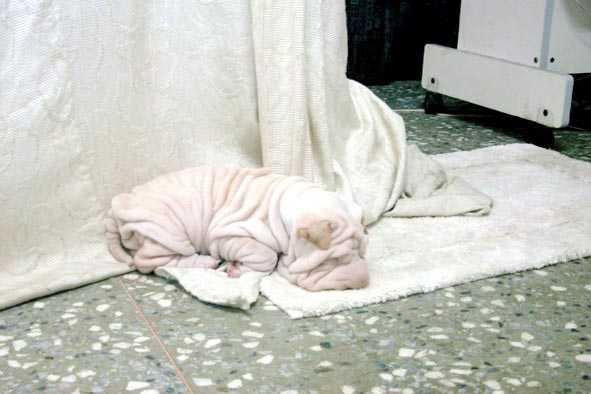Dog That Looks Like A Towel image